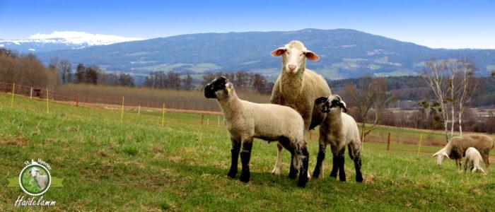 Lammfrischfleisch und Lammfleischprodukte, Schafwolle und Lammfelle